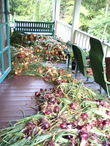 Cascades of onions spread out on the front porch